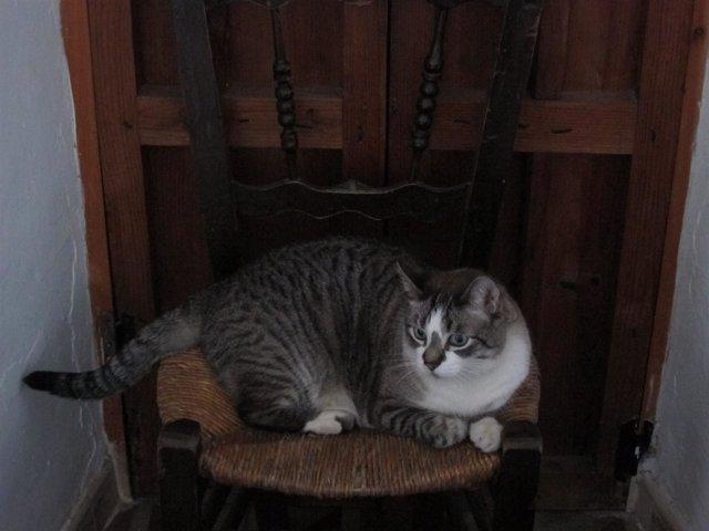 Gato, Mascota, Animal Doméstico