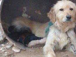 Perra En Malas Condiciones Con Cachorros