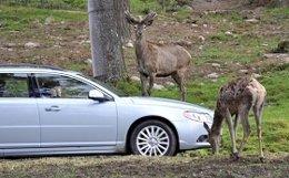 Animales En La Calzada