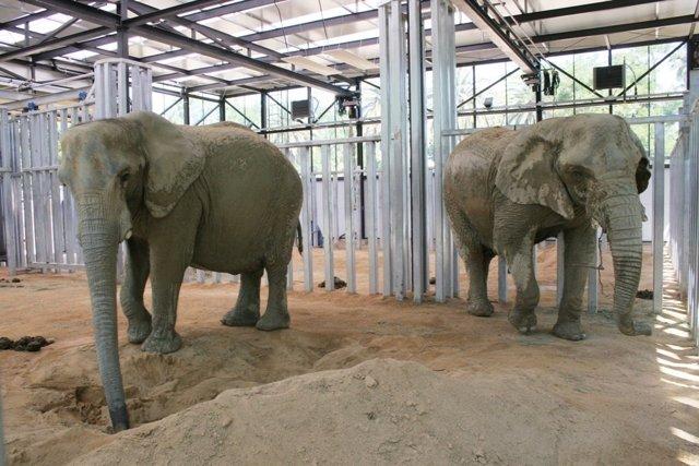Elefantas Yoyo Y Susi Del Zoo De Barcelona