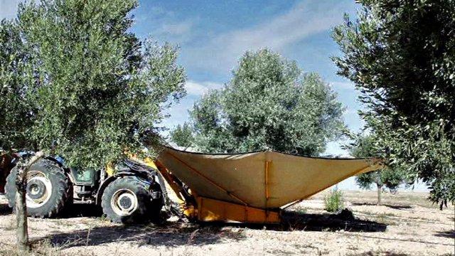 Olivos, olivar