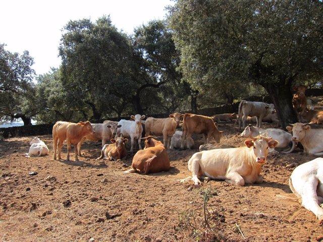 Vacas, Ganado Vacuno