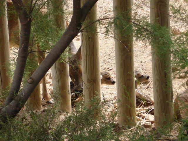 Una Hembra De Corzo Del Parque Terra Natura Murcia Tiene Su Cuarto Parto Gemelar