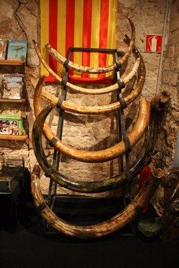 Colmillos Del Museo Del Mamut