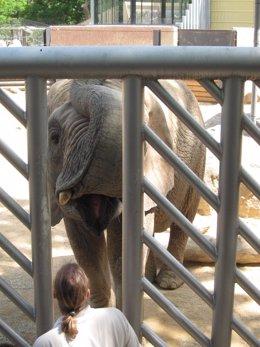 La Elefanta Bully Se Va Adaptando A Las Instalaciones Del Zoo