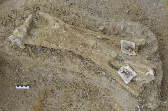 Fósil De Una Tibia De Mamut De 700.000 Años Hallada En Tarragona