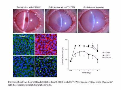 Desarrollan una nueva técnica que abre la vía de la medicina regenerativa a las enfermedades de la córnea