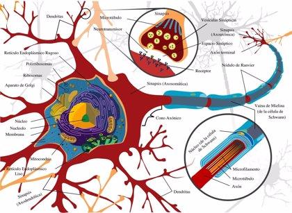 El Centro de Biología Molecular Severo Ochoa relaciona dos mecanismos neuronales asociados al daño cerebral agudo