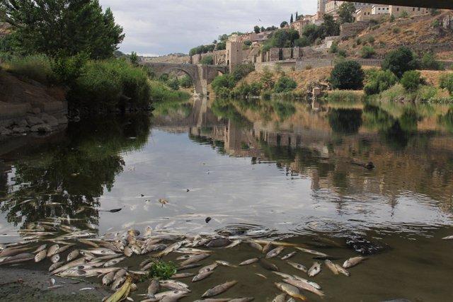 Peces Muertos En El Río Tajo