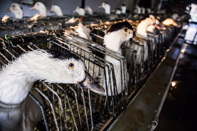 Granja De Engorde De Patos Para Fabricar Foie Gras
