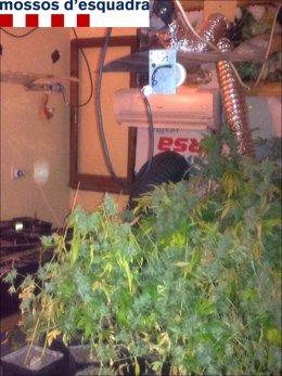 Las plantas de marihuana incautadas por los Mossos