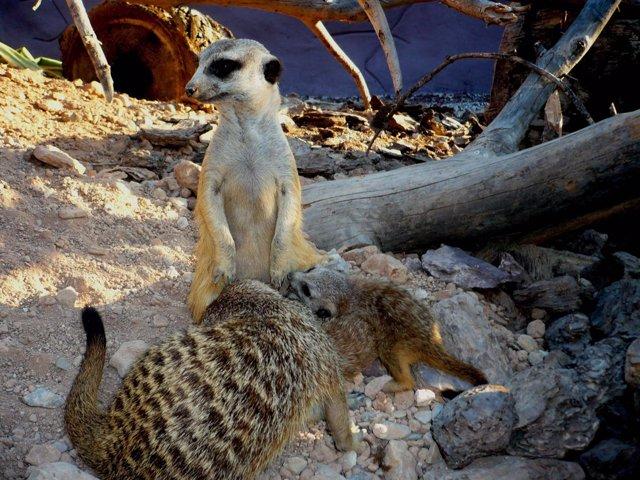 Cria suricata