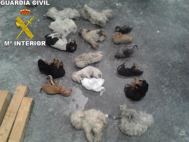 Operación de la guardia civil contra perros