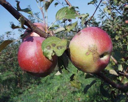 Navarra.- Identifican 22 variedades de manzano de Navarra con mayor resistencia a 2 enfermedades graves de estos árboles