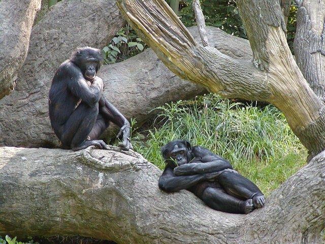 Bonobo, Primate
