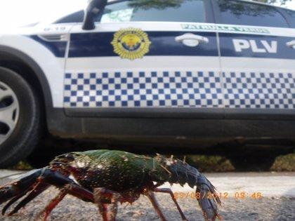 La Policía Local retira más de cien cangrejos americanos en la carretera que une Pinedo y El Saler