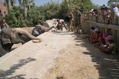 Terra Natura celebra el 40 cumpleaños de la elefanta Petita con un helado de verduras y 20 kilos de manzanas