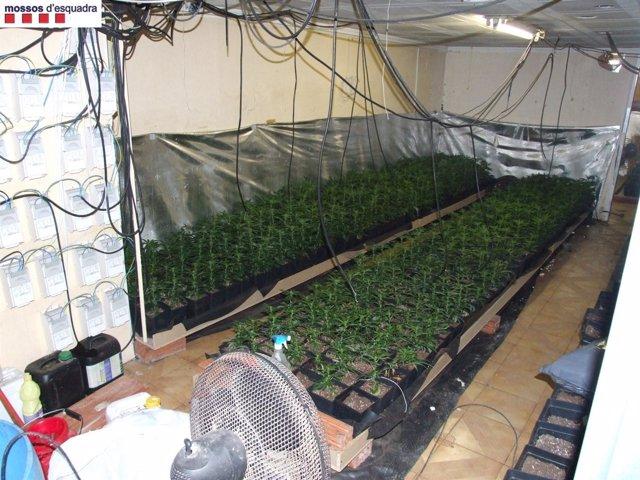 Las Plantas De Marihuana Encontradas En Terrassa