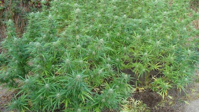 Plantación de marihuana intervenida en Taboadela (Ourense)