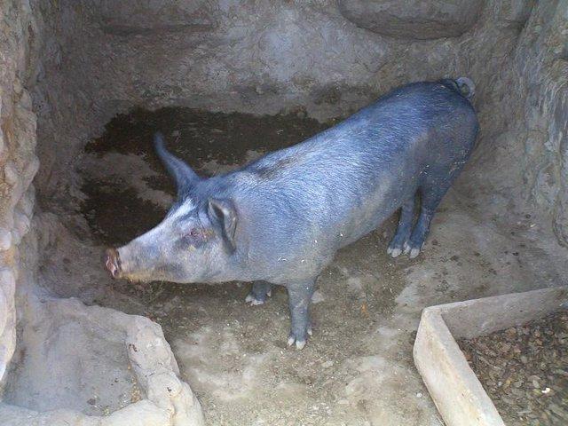 Cerdo Ibérico, de pata negra