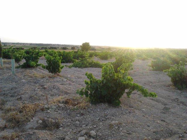 Viñas, Campo, Uva, Vid, Vino, Agricultura, Agricultores