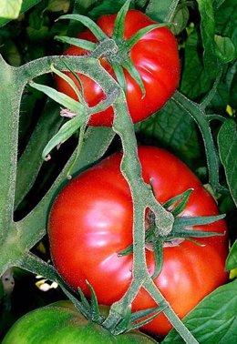 Tomatera, tomates