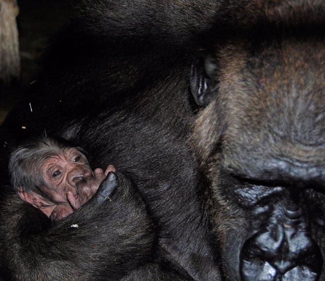 Nace El Primer Gorila En Bioparc Valencia