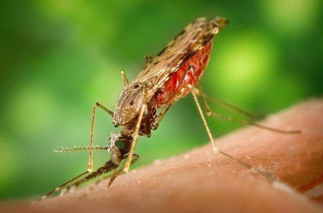 La Hembra Del Mosquito Que Propaga La Malaria