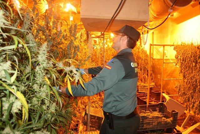 Plantación de marihuana en Chipiona
