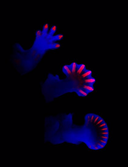Confirman un modelo matemático que explica el patrón molecular de la formación de los dedos