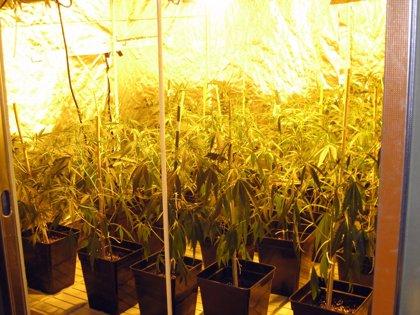 El consumo de marihuana podría estar relacionado con el desarrollo de síntomas psicóticos en adolescentes