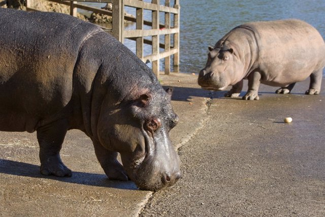 Hipopótamo en Cabárceno, Kavango