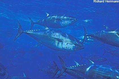 La población de atún rojo del Pacífico cae un 96,4% por la sobrepesca, según un estudio