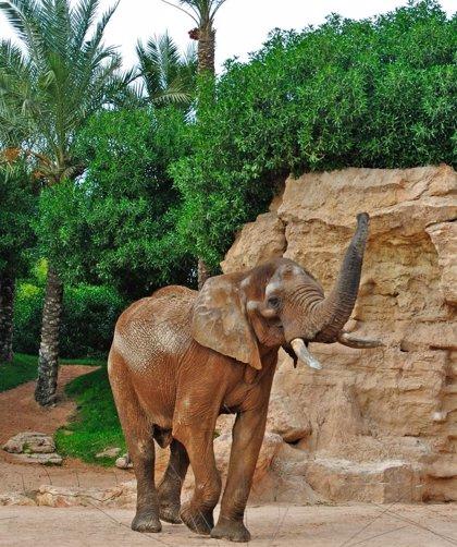 Pambo, el semental de elefante africano, se aclimata en Bioparc Valencia
