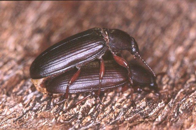 Escarabajo de la harina