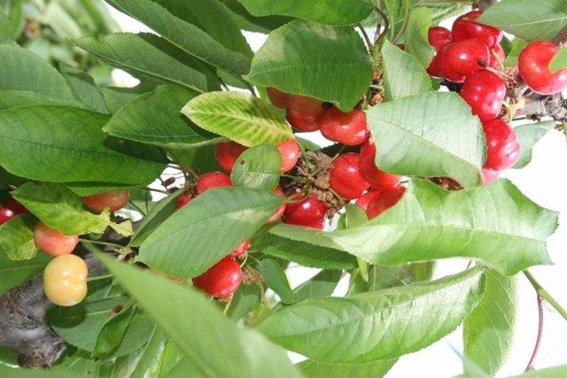 La imagen muestra un cerezo