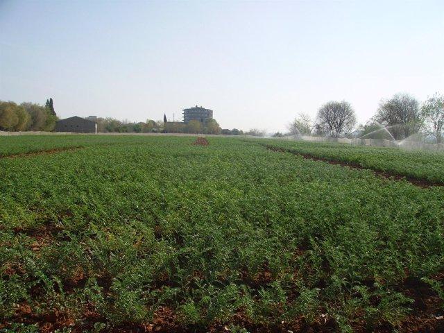 Plantación de garbanzos que ha sido objeto del estudio