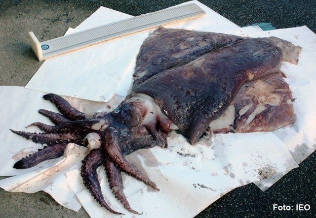 Imagen del calamar gigante que apareció en Galicia