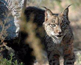 Ecologistas inciden en la restauración del hábitat y la detección de puntos negros tras morir otro lince por atropello