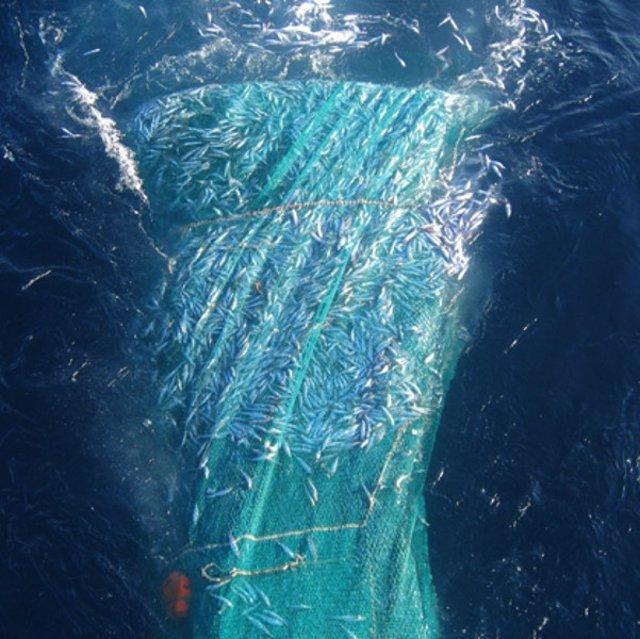 Copo De Pesca De Sardinas En Superficies