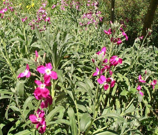Alhelí en el Jardín Botánico de la concepción