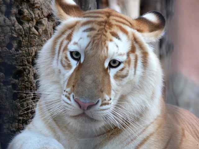 La tigresa dorada de nombre Dora llega al Zoo Aquarium de Madrid