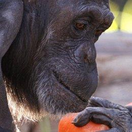 Un chimpancé con su bebé. Mono. Animal