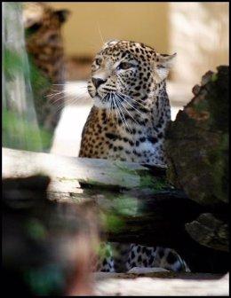 Leopardo hembra en el zoo de Jerez