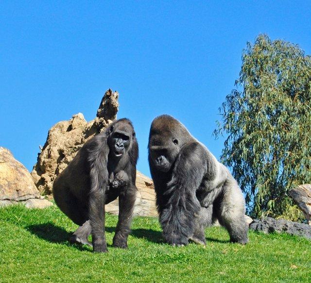 Ebo, primer bebé gorila nacido en Bioparc