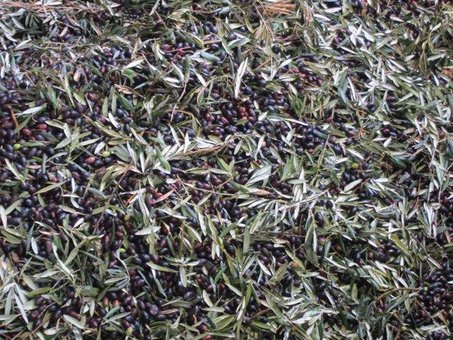 Oliva, olivera, olivo, aceite, cosecha, campo, agricultura