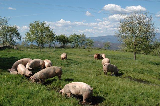 Cerdo Selecta Coren