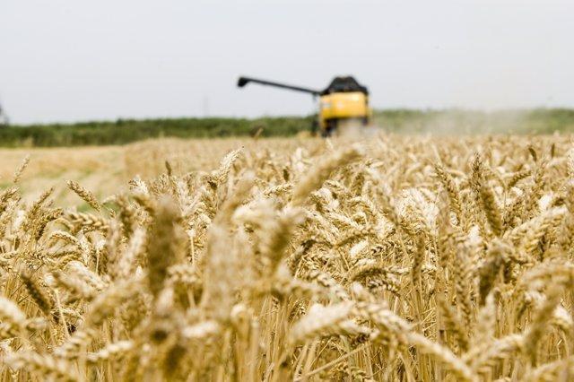 Cosechas de trigo