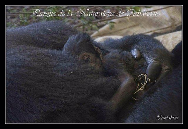 Moja y su cría de gorila