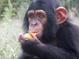 Chimpancé De La Fundació Mona